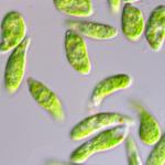 ユーグレナとデンソー、藻由来のバイオ燃料量産などで包括提携