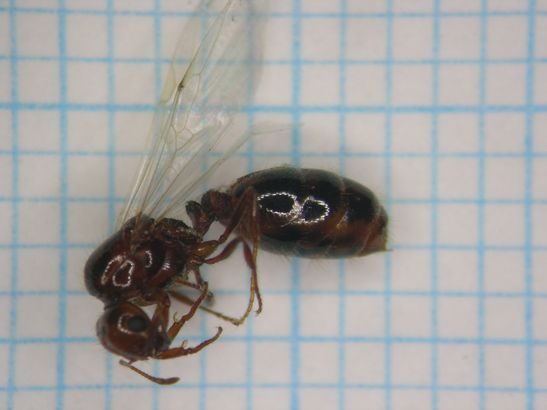 名古屋港のヒアリ、追加調査で新たに女王アリも数十個体以上を確認
